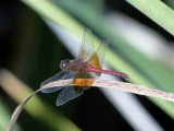 Band-winged Meadowhawk (Sympetrum occidentale)