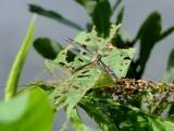 Cranefly (Tipulid sp.)