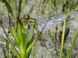 Black Meadowhawk (Sympetrum danae)