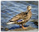 Duck V