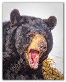 Black Bear II