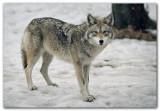 Wolf XIII