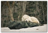Wolf XIV