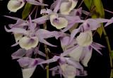 Dendrobium aphyllum - syn. Dendrobium pierardii