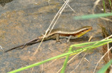 Sun skink,  Eutropis multifasciata, adult male with two new tailes