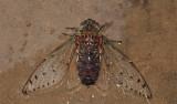Gigant cicada, Pomponia intermedia, body 8 cm, wing span 17 cm