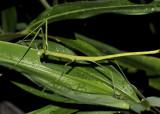 Nocturnal walking stick