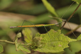 Flying walking stick male, Asceles glaber
