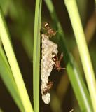 little hornets