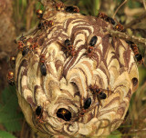Hornets paper nest, Vespa affinis