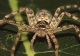 Gigant wolf spider, 10 cm