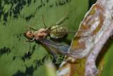 Flying ant queen