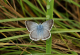 Bleek blauwtje man, Polyommatus coridon