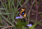 Yellow pansy Junonia hierta