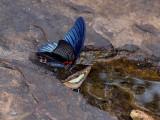 Drinking butterflies