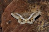 Godonela eleonora (Geometridae)