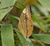 Junglequeen, Stichopthalma louisa