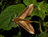 Giant Arum hawkmoth, Theretra nessus