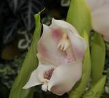 Anguola virginalis, 5 cm