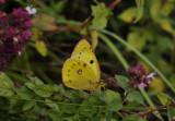 Zuidelijke luzernevlinder, Colias alfacariensis, Kaiserstuhl