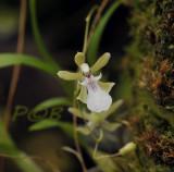 Rodriqueziopsis eleutherosepala, flower nearly 2 cm