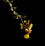 Oncidium section Heterantha