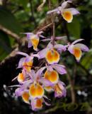 Dendrobium gratiotissimum, photo taken in Laos