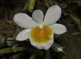 Dendrobium crepidatum semi alba, picture taken in Laos