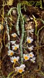 Dendrobium crepidatum, picture taken in Laos