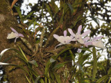 Dendrobium polyanthum, Laos
