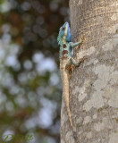 Blue tree lizard, Calotes mystaceus, about 40 cm
