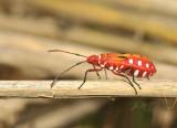 Bug, Dysdercus cingulatus