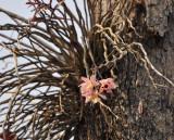 Dendrobium pulchellum, Thailand