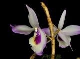 Dendrobium sp. mutant