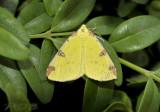 Hagedoorn vlinder