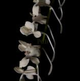 Aerangis citrata, flowers 1.5 cm