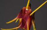 Masdevallia schlimii, flowers 4 cm
