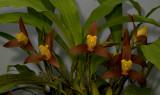 Lycaste lasioglossa, flowers 10cm