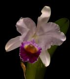 Cattleya trianaei, botanic