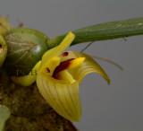 Trias nasuta, flower  1.5 cm