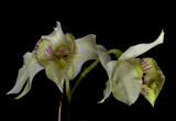 Dendrobium rhodostictum, flowers  2 cm