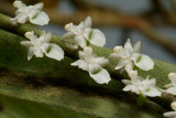 Listrostachys pertusa, flowers  5 mm