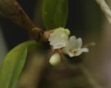 Scaphyglottis  violacea  alba,  3 mm