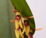 Trichosalpinx sp. 1 cm