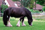 This is Rupert the shire horse and..
