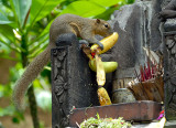 Balinise squirrel robbing a temple offering
