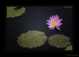 Lotus Flowers 2012