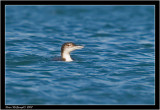 Great Northern Diver.jpg