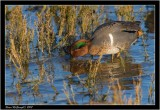 Green winged teal.jpg