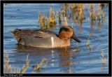 Green winged teal2.jpg